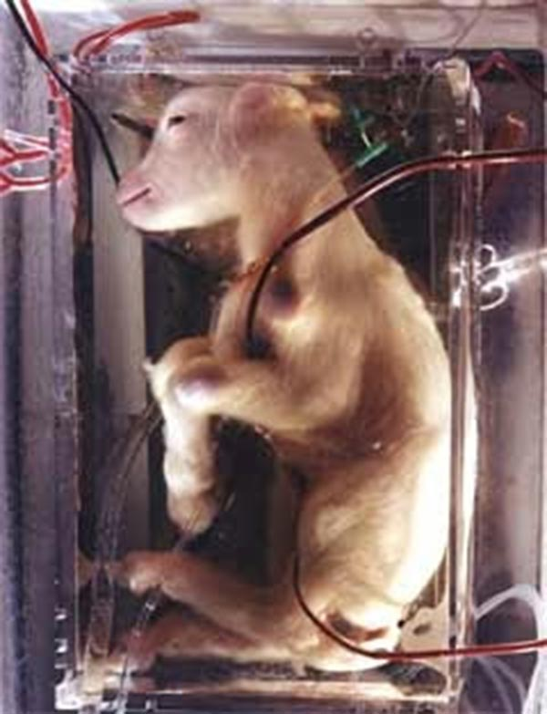goat in artificial womb