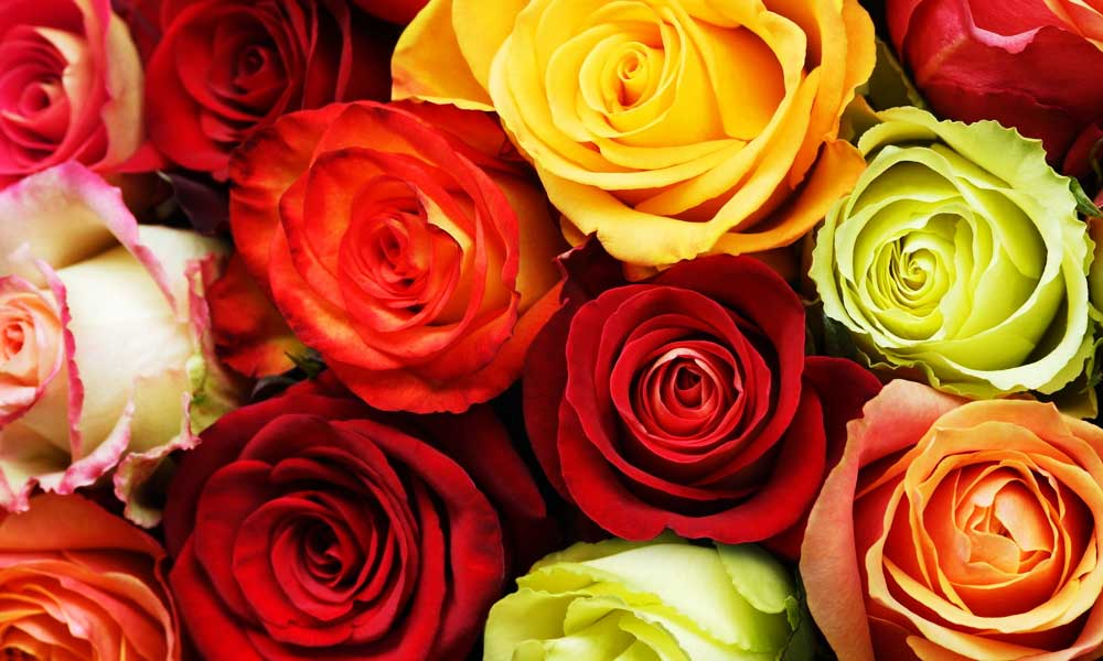 mixed-color-roses