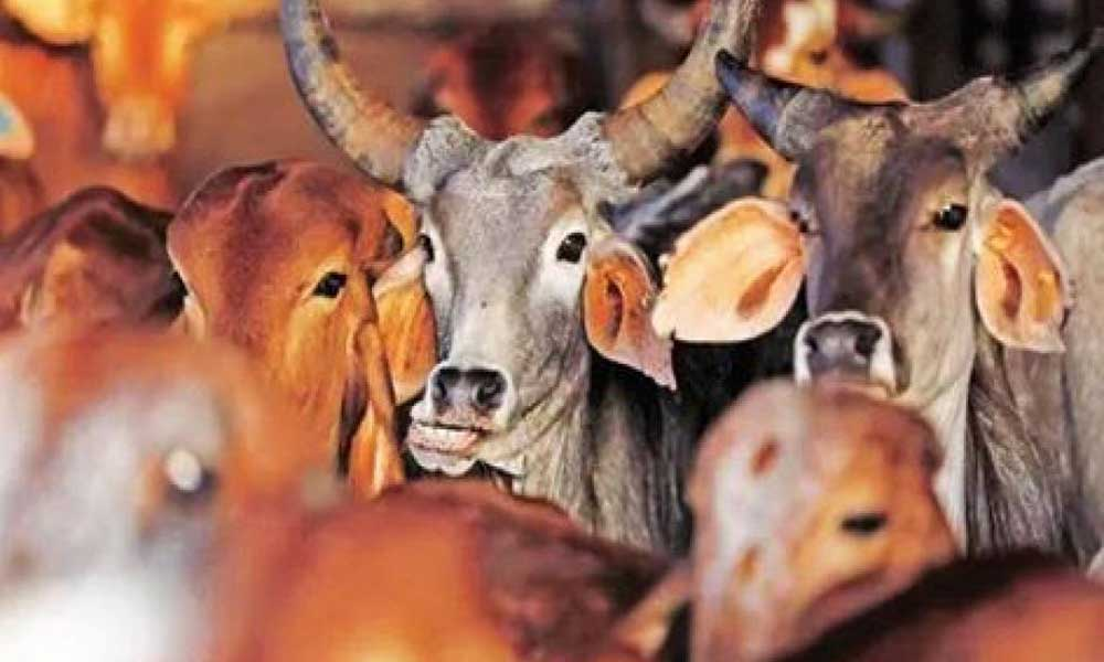 holy-cow beef ban