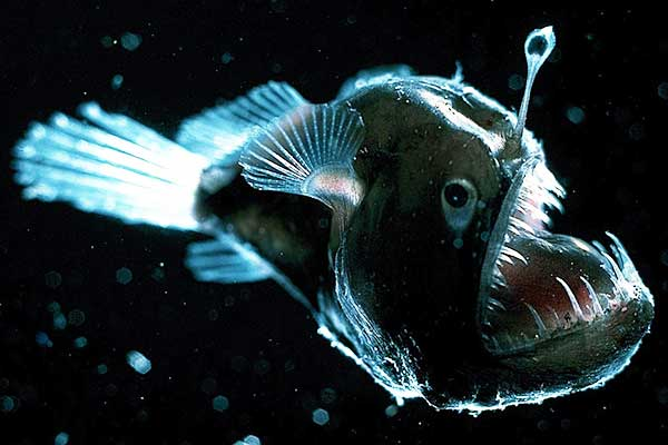 theanglerfish