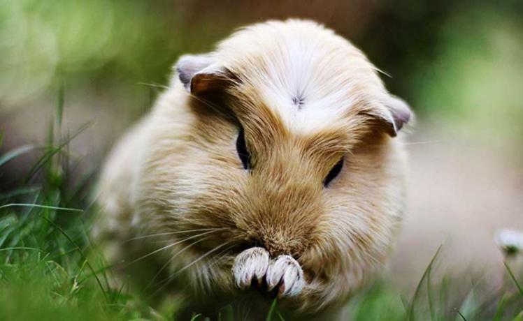 guinea-pig-hd