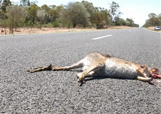 roadkill-moving