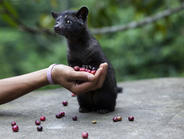 Asian Palm Civet poop can be used to make coffee