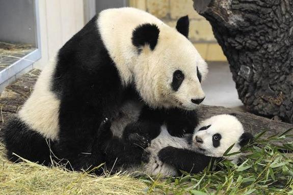 panda-bear-baby-mother2