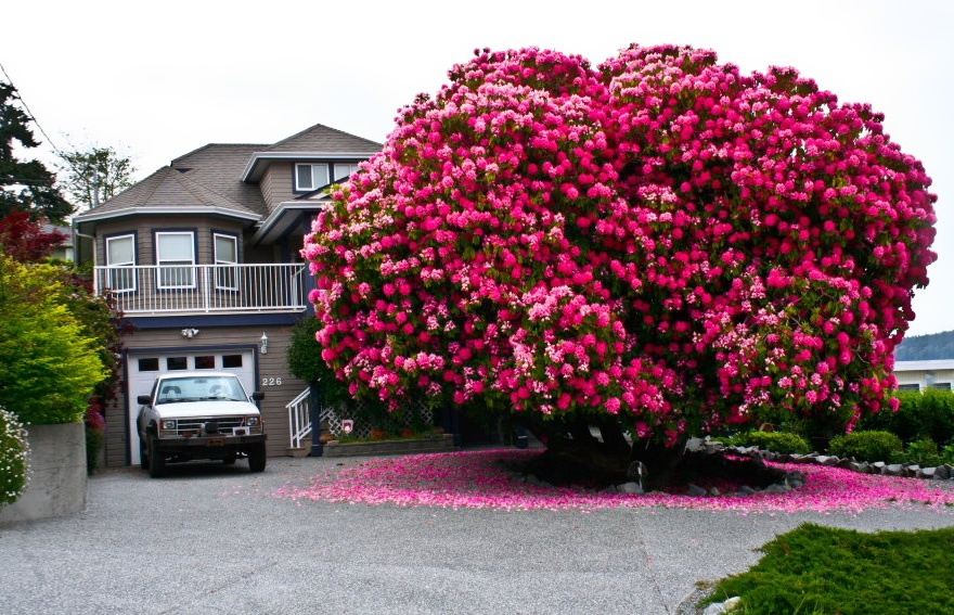125-year-old rhododendron, Canada