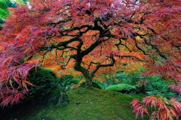A Japanese maple tree, Oregon, USA