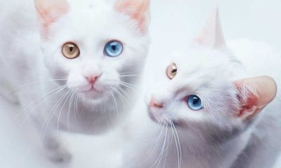Cats With Heterochromatic Eyes