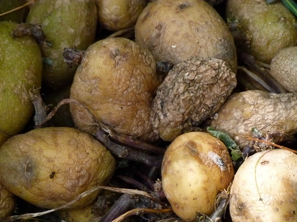 Poison In Potatoes