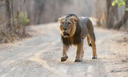Visit These Places To See Lions In India
