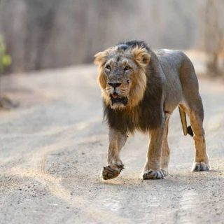 Places in India where lions are found