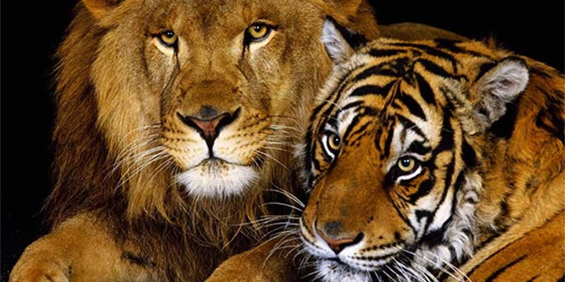 tiger and sheep relationship